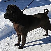 Adopt A Pet :: Ray Ray - Stroudsburg, PA