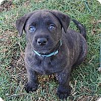 Adopt A Pet :: Chuck - La Habra Heights, CA