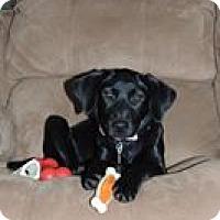 Adopt A Pet :: Vivi - North Haverhill, NH