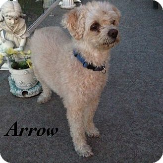 Poodle (Miniature) Mix Dog for adoption in Barriere, British Columbia - Arrow