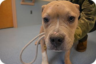 American Staffordshire Terrier Mix Dog for adoption in Bay Shore, New York - Daphne