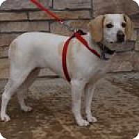 Adopt A Pet :: Kinley - Norman, OK