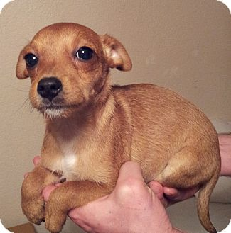 Yorkie, Yorkshire Terrier/Terrier (Unknown Type, Small) Mix Puppy for adoption in Warwick, Rhode Island - Mona Lisa