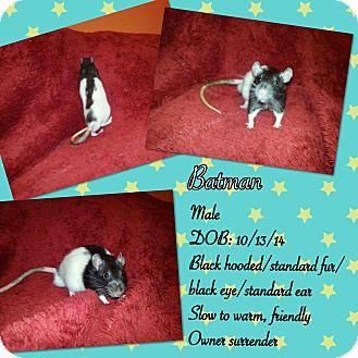 Rat for adoption in Canoga Park, California - Batman