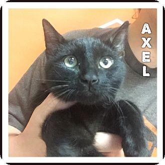 Domestic Shorthair Kitten for adoption in Valencia, California - Axl