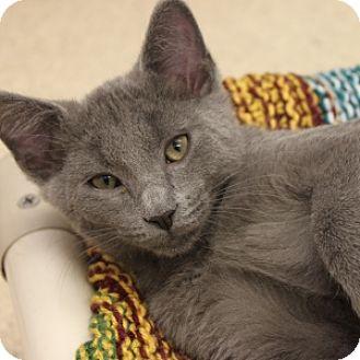 Domestic Shorthair Kitten for adoption in Naperville, Illinois - Buzz