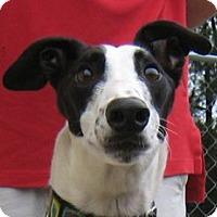 Adopt A Pet :: Comma - Oak Ridge, NC