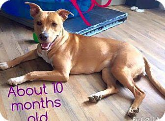 Labrador Retriever Dog for adoption in Jacksonville, North Carolina - Pooch