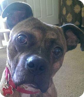 Boston Terrier/Pit Bull Terrier Mix Dog for adoption in Fenton, Michigan - Titan