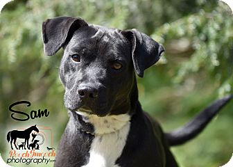 Labrador Retriever/Staffordshire Bull Terrier Mix Dog for adoption in Broadway, New Jersey - Sam