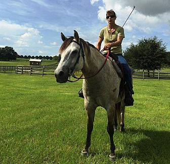 Quarterhorse Mix for adoption in Morriston, Florida - Baby Ray