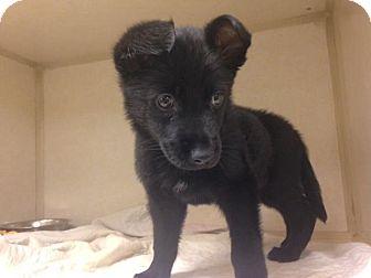 Border Collie Mix Puppy for adoption in Dallas, Texas - Gypsy