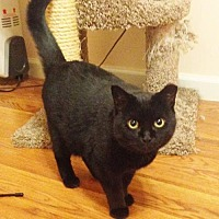 Domestic Shorthair Cat for adoption in Budd Lake, New Jersey - Colette