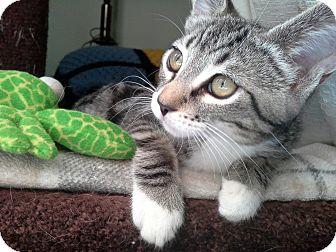 Domestic Shorthair Kitten for adoption in Monrovia, California - Kiara