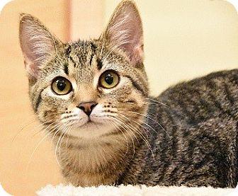 Domestic Shorthair Kitten for adoption in Hillside, Illinois - Nina-5 MONTHS