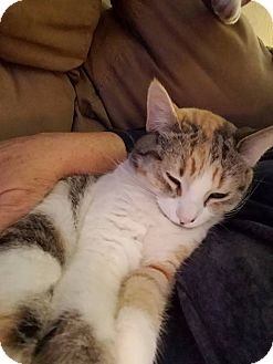 Domestic Shorthair Kitten for adoption in Middletown, Ohio - Trixie