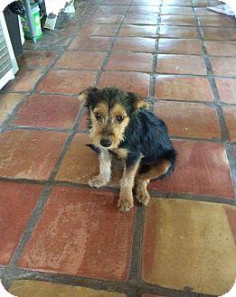 Schnauzer (Standard)/Terrier (Unknown Type, Small) Mix Puppy for adoption in Mesa, Arizona - HATTIE