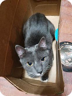 Domestic Shorthair Cat for adoption in Walla Walla, Washington - Myra