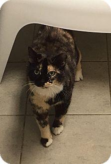 Domestic Shorthair Cat for adoption in Columbus, Georgia - Consuela 9707