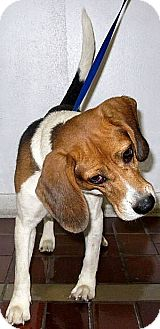 Beagle Dog for adoption in Pipe Creed, Texas - Balou