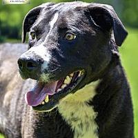 Labrador Retriever Mix Dog for adoption in Washburn, Missouri - Diggle