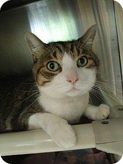 Domestic Shorthair Cat for adoption in Oak Park, Illinois - Sierra
