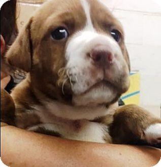 Boxer/Labrador Retriever Mix Puppy for adoption in Oswego, Illinois - I'M ADOPTED Twix Villamil