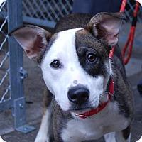 Adopt A Pet :: Moko - Brooklyn, NY