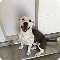 Adopt A Pet :: Sky - Kirby, TX
