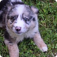 Adopt A Pet :: Avery - Hazard, KY