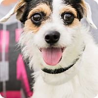 Fox Terrier (Wirehaired)/Terrier (Unknown Type, Small) Mix Dog for adoption in Ann Arbor, Michigan - ROOMBA