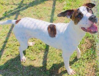 Labrador Retriever/American Pit Bull Terrier Mix Dog for adoption in Tuscaloosa, Alabama - Taz
