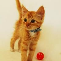 Domestic Longhair/Domestic Shorthair Mix Cat for adoption in Toccoa, Georgia - Apoc