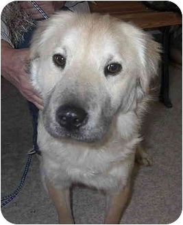 Retriever (Unknown Type)/Chow Chow Mix Dog for adoption in Sacramento, California - Samuel!