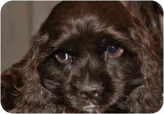 Cocker Spaniel Puppy for adoption in SLC, Utah - lucy