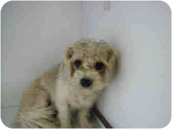 Bichon Frise Mix Dog for adoption in Yuba City, California - Unnamed