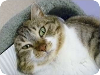 Domestic Shorthair Cat for adoption in Grants Pass, Oregon - Louise