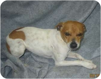 """Feist Mix Dog for adoption in staten Island, New York - """"COMET"""""""