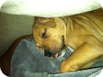 Boxer/Shepherd (Unknown Type) Mix Puppy for adoption in Las Vegas, Nevada - AV's Carlos