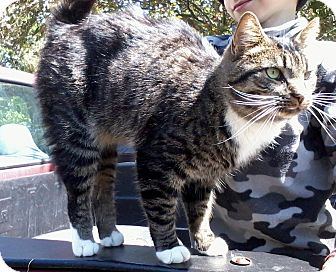 Domestic Shorthair Cat for adoption in High View, West Virginia - Sparta