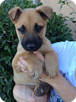 German Shepherd Dog Mix Puppy for adoption in Santa Monica, California - RICKY, precious Baby!