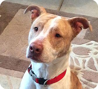 Labrador Retriever/Pit Bull Terrier Mix Dog for adoption in Bryan, Texas - Duke