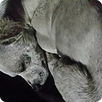 Adopt A Pet :: Liam - Pflugerville, TX