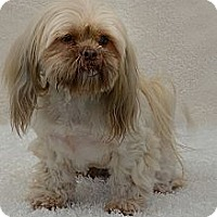 Lhasa Apso Dog for adoption in Davie, Florida - Dusty Rose