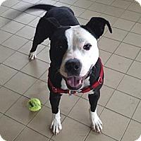 Adopt A Pet :: Ava - Jackson, MI