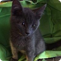 Adopt A Pet :: Mork - St. Louis, MO