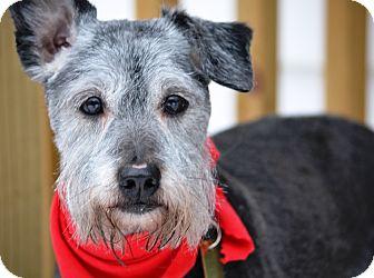 Miniature Schnauzer Dog for adoption in Sharonville, Ohio - Bernard~Adoption Pending