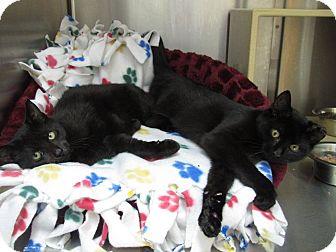 Domestic Shorthair Kitten for adoption in Somerville, Massachusetts - Peanut (Petsmart Everett)