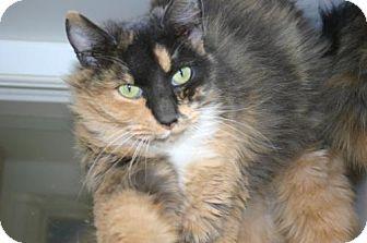 Domestic Mediumhair Cat for adoption in Olympia, Washington - 40177