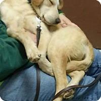 Labrador Retriever Mix Dog for adoption in Middletown, Ohio - Chip